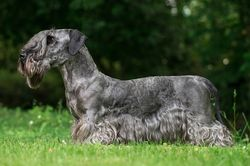 Cesky Terrier - The Breed Archive